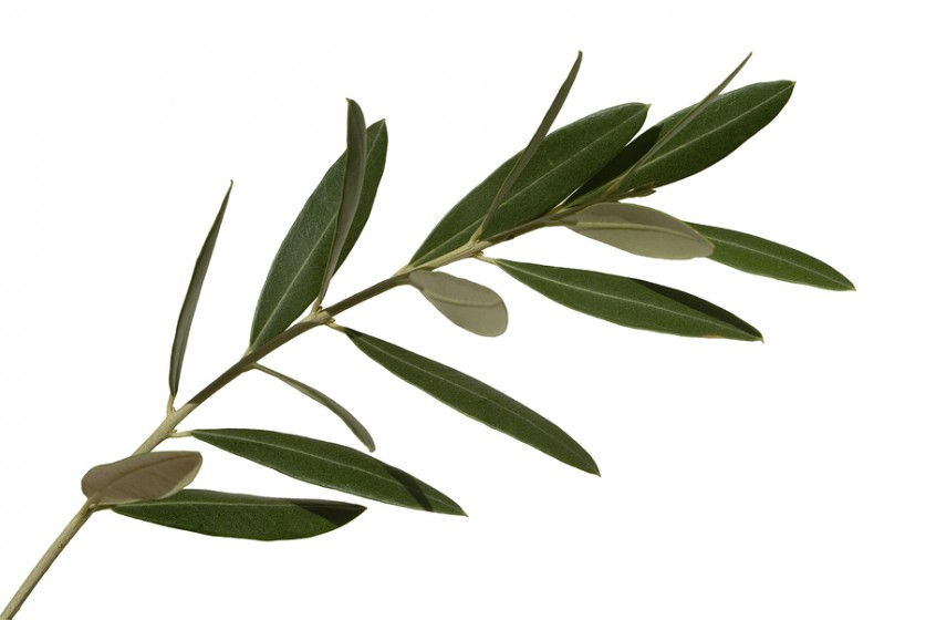 Olive leafs